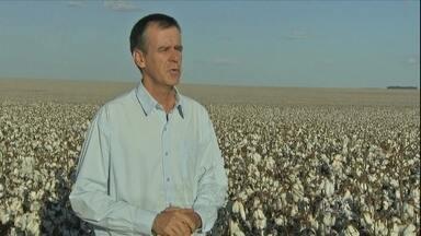 Começa a colheita do algodão no Mato Grosso do Sul - Os agricultores estão animados com a boa colheita do algodão em Mato Grosso do Sul. A região deve colher cerca de 62 mil toneladas de algodão em pluma.