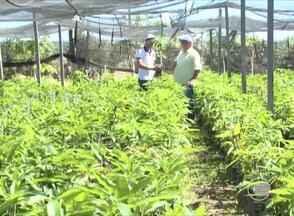 Agricultores do povoado Fazenda Soares apostam no cultivo de mudas frutíferas e hortaliças - Agricultores do povoado Fazenda Soares apostam no cultivo de mudas frutíferas e hortaliças