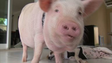 Porco é criado como pet no Ceará e conquista seguidores em rede social - Dylan foi escolhido para ser primeiro animal de estimação de casal.