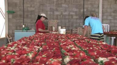Safra de morangos movimenta região de Umuarama - Safra desse ano atrasou por causa do clima, mas agora os preços estão atrativos para os consumidores