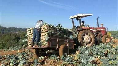 Frio e tempo seco favorecem produção de brócolis no Sul de Minas - Estivama da Emater é que a safra cresça 14%