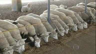 Estiagem prejudica criadores de ovelha de São Paulo - Sem pasto para alimentar os animais, a alternativa é recorrer ao confinamento. Com o uso de suplementos, os custos de produção aumentam em até 30%.