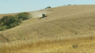 Produção de trigo deve aumentar 10% na região em 2014 - Produção de trigo deve aumentar 10% na região em 2014