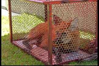 Lobo-Guará é capturado em Suzano - Ele foi encontrado na região central da cidade.
