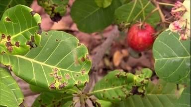 Doença impede surgimento de frutos em cajueiro de PE - O agrônomo Marlon Valentin explicou o que ocorre com o cajueiro que há três anos não dá frutos.
