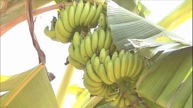Agricultores de Goiás cultivam variedade de banana-maçã mais resistente ao mal-do-Panamá - A tolerância da variedade ao fungo chama a atenção dos pesquisadores. Ainda não se sabe a origem da banana que apareceu numa das fazendas do município de Itaguaru há 12 anos. A fruta tem características semelhantes a da banana-maçã original.