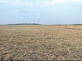Estiagem pode prejudicar a produtividade das lavouras e rebanhos em MG - Triângulo Mineiro é uma das principais regiões produtoras de grãos e de criação de gados. Expectativa é de chuva significativa.