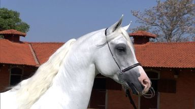 Cavalo Árabe desperta cada vez mais o interesse de criadores em MS - Por causa dos longos anos de seleção natural, o animal passou a ser visto como uma alternativa para quem procura melhoramento genético