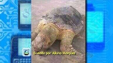 Tartaruga marinha é encontrada morta na Praia da Atalaia em Aracaju - Uma tartaruga marinha com aproximadamente 50 kg foi encontrada morta na Praia da Atalaia, em Aracaju, na manhã deste sábado (1º). De acordo com especialistas, ela já é um animal adulto da espécie conhecida como cabeçuda.