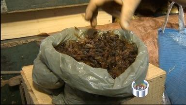 Taubaté tem comércio de içá em rede social - Venda da formiga gera lucro para comerciantes.