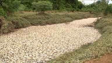 Milhares de peixes aparecem mortos em São Paulo - Segundo técnicos, a mortandade ocorreu depois do fenômeno que produziu uma coloração escura na água.