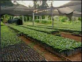 Varre-sai, RJ, é quinto maior produtor de café do país - Varre-sai, RJ, é quinto maior produtor de café do país