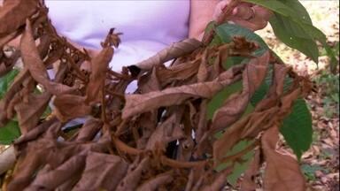 """Veja como controlar a 'vassoura de bruxa' nas plantações de cupuaçu - De acordo com agrônoma da EMBRAPA Ruth Benchimol a vassoura de bruxa ataca por um fungo. """"Esse fungo está disperso no ar em função do vento, temperatura e umidade. Ele vai de uma planta para outra""""."""