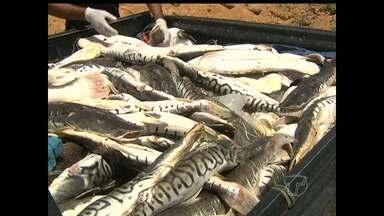 Após denúncia, cerca de 600kg de pescado são apreendidos no PA - Apreensão aconteceu na tarde desta quinta-feira (18), em Santarém.