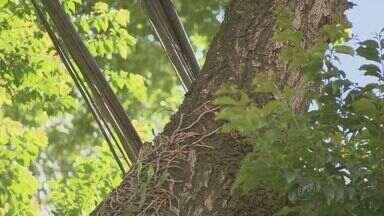 Campinas tem 4 mil árvores à espera de poda e extração - Moradores relatam atraso de até seis anos para serviço solicitado à Prefeitura.