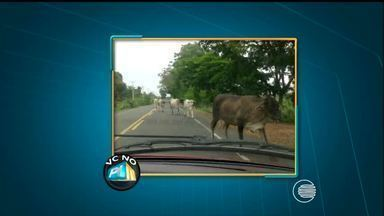 VC no PI TV: telespectador flagra animais na pista que são um perigo para motoristas - VC no PI TV: telespectador flagra animais na pista que são um perigo para motoristas