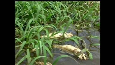 Fenômeno ocorrido no período da cheia mata peixes em Alenquer - Situação foi registrada no lago Arapapá.