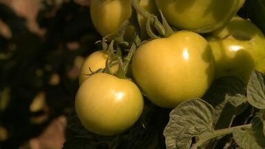 Safra de tomates deve ter alta no mercado - Assista ao vídeo.