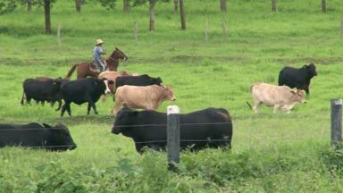 Mesmo com a crise na economia, setor da pecuária fatura alto - Com o preço da arroba do boi mais alto, os pecuaristas da região de Umuarama não sentem os reflexos da crise econômica.