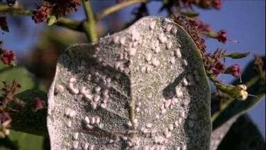 Solução pulverizada acaba com a mosca branca - Os produtires de caju da região de Guaraciaba do Norte (CE) estão tendo muitos prejuízos com a mosca branca. As folhas estão infestadas de pontinhos brancos.