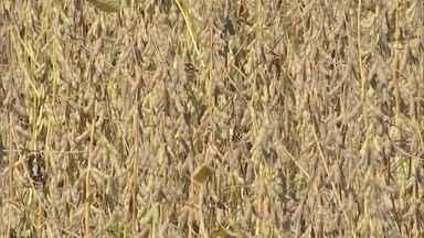 Mesmo com contratempos, safra de soja segue com bons números - A Companhia Nacional de Abastecimento divulgou o levantamento da safra de grãos