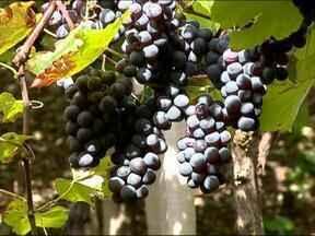 Excesso de umidade prejudicou a qualidade da uva na Serra - Uva da variedade Isabel é a última a ser colhida
