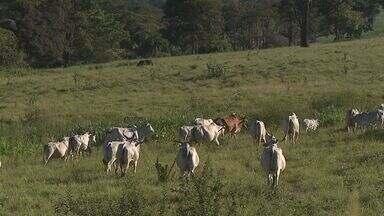 Ladrões roubam gados de pastos na região de Ribeirão Preto - Em um ano e meio, cerca de 500 animais sumiram de pastos.
