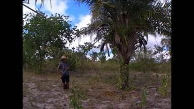 Deputada estadual cria projeto de lei para proteger pés de licuri e umbuzeiros - O projeto assegura que corte e retirada das árvores sejam permitidas somente em casos especiais.