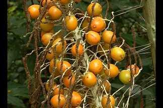 No Pará, ambientalista preserva espécies vegetais com coleção de frutas - Trabalho realizado no nordeste do Pará contribui para manutenção do meio ambiente e preservação ecológica.