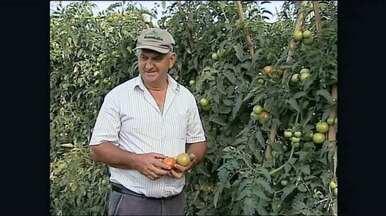 Produtores de tomate trocam informações pela internet e melhoram lavoura - Agricultores e técnicos criam grupo na internet para melhorar rendimentos.