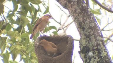 Casal de joão de barro é flagrado construindo ninho - As aves utilizam barro úmido, esterco e palha.