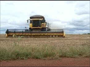 Tocantins registra aumento na produção de milho - Tocantins registra aumento na produção de milho