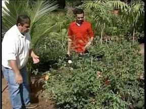 Aprenda a maneira correta de como plantar rosas - Técnico da Emater-MG passa todas as orientações.