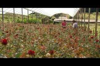 Produtores de rosas do Campo das Vertentes comemoram vendas - Preços aumentam na época do Dia dos Namorados. Produção diminui, mas qualidade das rosas aumenta durante o período frio.