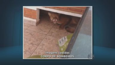 Onça parda aparece em chácara e assusta moradores em São Pedro, SP - O Corpo de Bombeiros realizou o trabalho de captura em 3h e equipe do zoológico de Piracicaba (SP) foi chamada para sedar o animal.