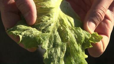 Hoje foi o dia mais frio do ano na região Oeste - Teve geada em muitas cidades e o frio atingiu principalmente a produção de hortaliças.
