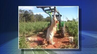 Polícia fecha dois abatedouros clandestinos no noroeste paulista - Dois abatedouros clandestinos foram fechados na região noroeste paulista nesta terça-feira (16). Em Votuporanga (SP), técnicos da Defesa Agropecuária e uma equipe da Polícia Ambiental chegaram ao local quando um dos animais era abatido.