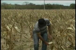 Áreas de sequeiro sofrem com a falta de chuva na região - O milho, alimento muito consumido nessa época do anos, teve seu cultivo prejudicado