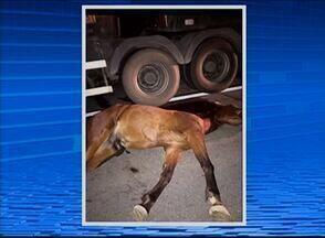 Animais soltos em rodovias preocupam autoridades - Acidentes têm ocorrido constantemente em decorrência de bichos trafegando em pistas.