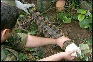 Jacaré de papo amarelo é capturado em terreno de Campos, no RJ - Jacaré de papo amarelo é capturado em terreno de Campos, no RJ.