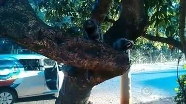 Sagui é visto no bairro Otávio Rasi em Bauru - Equipe de reportagem da TV TEM encontrou um sagui no bairro Otávio Rasi, em Bauru (SP).