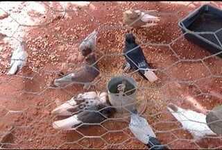 Lei que regulamenta a criação de pombos é aprovada em Montes Claros - Norma foi sancionada no dia 16 de junho.