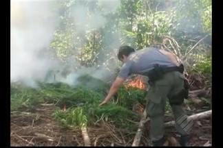 PF destrói 20 plantações de maconha no PA e no MA - No Pará, operação foi realizada em Capitão Poço e Nova Esperança do Piriá.