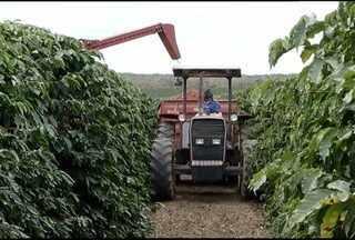 Mesmo com irregularidades da chuva as plantações de café em Taiobeiras tem safras cheias - Brasil é o maior produtor mundial de cefé.