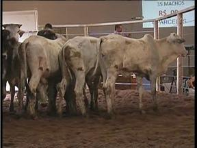 Leilão de bovinos na Expoagro se torna oportunidade de faturamento do produtor rural - Evento é considerado um dos maiores da exposição.