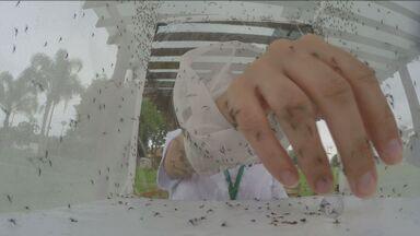 """Prefeitura divulga terceira morte por dengue em Piracicaba, SP - Em 2015, além das ações convencionais de combate ao mosquito, o município também está testando a implantação do """"mosquito do bem""""."""