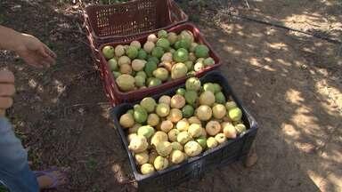 Pragas prejudicam produção de goiaba do Vale do São Francisco - Plantações estão sendo destruídas e comerciantes precisam buscar o fruto fora da região para revender.