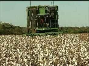 Agricultores da Bahia investem na produção do algodão no Tocantins - Agricultores da Bahia investem na produção do algodão no Tocantins