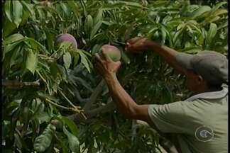 Suspensão do contrato de Assistência Técnica preocupa produtores do Projeto Nilo Coelho - O Governo Federal suspendeu o contrato dos assistentes técnicos e agrônomos do Projeto de Irrigação Nilo Coelho, em Petrolina.