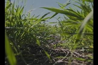 Produtores apostam na cevada como cultura de inverno - Com a constante quebra na safra do trigo, cevada é opção com lucro garantido.